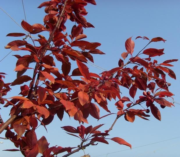 Дерево с бордовыми цветами